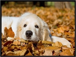 Jesie�, Golden Retriever, Pies, Li�cie